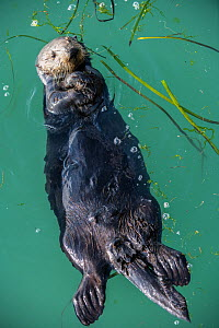 Sea Otter, (Enhydra lutris), young male, Elkhorn Slough, California, USA. January  -  Doc White
