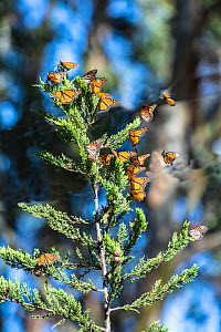 Monarch butterfly, (Danaus plexippus), migrating group resting in tree Pismo Beach, California, USA. January. - Doc White