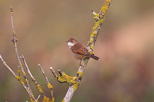 Common Whitethroat (Sylvia communis) perched, Norfolk, England, UK, September.  -  Robin Chittenden