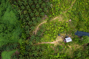 Aerial view of Oil palm (Elaeis guineensis) trees taken with drone. North Sumatra. September 2018.  -  Andrew Walmsley