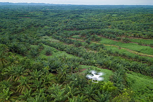 Aerial view of Oil palm (Elaeis guineensis) tree plantations taken with drone. North Sumatra. September 2018. - Andrew Walmsley