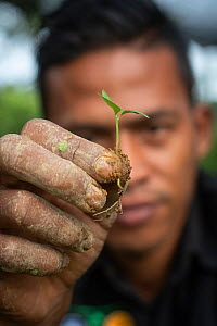 Conservation worker showing seedling rainforest plant, grown in nursery to restore rainforest habitat to former palm oil plantations. Restoration work carried out by staff from the Orangutan Informati...  -  Andrew Walmsley