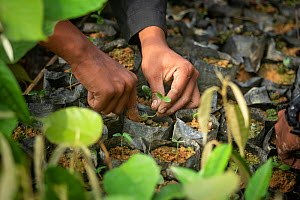 Handling rainforest plant seedlings grown in nursery to restore forest habitat to former palm oil plantations. Restoration work carried out by staff from the Orangutan Information Centre, North Sumatr...  -  Andrew Walmsley