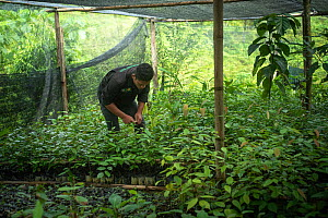Rainforest plants grown in nursery to restore rainforest habitat to former palm oil plantations. Restoration work carried out by staff from the Orangutan Information Centre, North Sumatra. . September...  -  Andrew Walmsley
