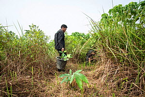 Rainforest restoration work by staff from the Orangutan Information Centre, North Sumatra. Oil palms are cleared from purchased land, often former illegal plantations, then plants grown from seed coll...  -  Andrew Walmsley