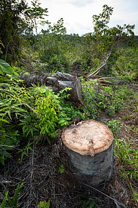 Cut stump of palm oil tree during restoration work carried out by staff from the Orangutan Information Centre, North Sumatra. The staff begin by clearing oil palms from purchased land, often former il...  -  Andrew Walmsley