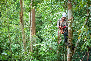 Tree climbing training for Human Orangutan Conflict Response Unit (HOCRU) team members in a forest in North Sumatra, April 2015.  -  Andrew Walmsley