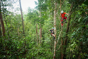 Tree climbing training for Human Orangutan Conflict Response Unit (HOCRU) team members in a forest in North Sumatra, April 2015  -  Andrew Walmsley