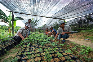 Conservation workers growing rainforest plants to restore palm oil plantations to rainforest habitat. Restoration work carried out by staff from the Orangutan Information Centre, North Sumatra. Septem... - Andrew Walmsley