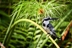 Pied kingfisher (Ceryle rudis) perched on a branch with fish prey. Murchisson Falls National Park, Uganda, February.  -  Eric Baccega