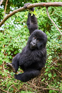 Mountain gorilla (Gorilla beringei) juvenile aged 2 years, hanging from branch, member of the Nyakagezi group, Mgahinga National Park, Uganda. January. - Eric Baccega