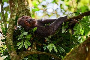Chimpanzee female (Pan troglodytes schweinfurthii) sleeping in a nest built in a tree, Kibale National Park, Uganda, January.  -  Eric Baccega