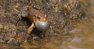 Male American toad (Anaxyrus americanus) displaying, showing vocal sacs expanding, Maryland, USA, April. - John Cancalosi