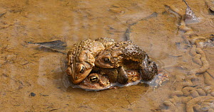 American toads (Anaxyrus americanus), several males competing to mate with female, Maryland, USA, April.  -  John Cancalosi