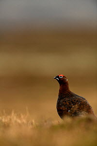 Red grouse (Lagopus lagopus) male on heather moorland, Askrigg, Yorkshire Dales National Park, Yorkshire, UK, January.  -  Graham Eaton