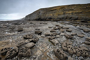 Wave-cut platform in Jurassic age, Liassic limestones (Blue Lias). Jointing and erosion patterns can be seen that have contributed to the break-up of the scattered boulders. Southerndown, South Glamor... - Graham Eaton