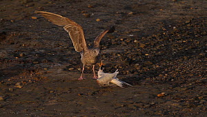 Juvenile Western gulls (Larus occidentalis) attacking an Elegant tern (Thalasseus elegans) with a broken wing, Southern California, USA, April. - John Chan