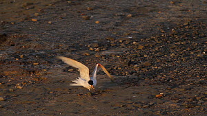 Elegant tern (Thalasseus elegans) with a broken wing, attempting to take off, Southern California, USA, April.  -  John Chan