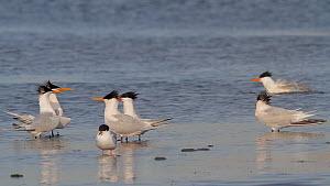 Elegant terns (Thalasseus elegans) courting, Southern California, USA, March.  -  John Chan