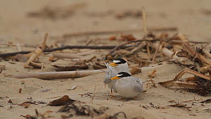 Male California least tern (Sternula antillarum browni) presenting fish offering to female during mating, disturbed by a rival male, Huntington Beach, California, USA, May. - John Chan