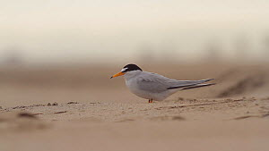 Female California least tern (Sternula antillarum browni) calling to a male flying overhead with fish offering, Huntington Beach, California, USA, May. - John Chan