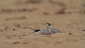 Male California least tern (Sternula antillarum browni) presenting fish offering to female during mating, Huntington Beach, California, USA, May.  -  John Chan