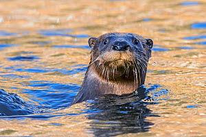 North American river otter (Lontra canadensis) swimming with head above water. Acadia National Park, Maine, USA. November.  -  George  Sanker
