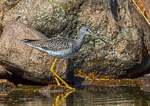 Greater Yellowlegs (Tringa melanoleuca) at water's edge. Beaver Pond, Acadia National Park, Maine, USA.  -  George  Sanker