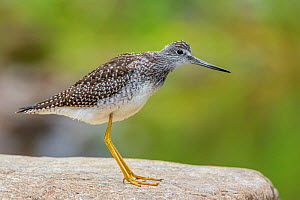 Greater yellowlegs (Tringa melanoleuca) standing on rock. Acadia National Park, Maine, USA. September.  -  George  Sanker