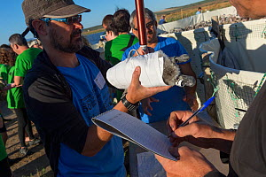 Volunteer weighing a Greater flamingo (Phoenicopterus ruber) juvenile while another volunteer notes the data during the ringing process, Fuente de Piedra lagoon, Malaga, Spain. August.  -  Francisco Marquez