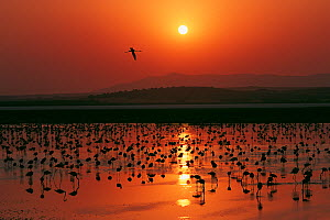 Greater flamingo (Phoenicopterus ruber) flock silhouetted in wetland, Fuente de Piedra lagoon, Malaga, Spain. August. - Francisco Marquez