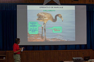 Researcher explaining the different tags used on Greater flamingo (Phoenicopterus ruber) juveniles, Fuente de Piedra lagoon, Malaga, Spain. August.  -  Francisco Marquez