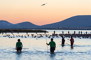 Volunteers rounding up Greater flamingo (Phoenicopterus ruber) juveniles for ringing, Fuente de Piedra lagoon, Malaga, Spain. August.  -  Francisco Marquez