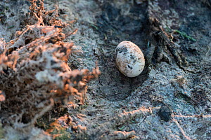 Abandoned Greater flamingo (Phoenicopterus ruber) egg, Fuente de Piedra lagoon, Malaga, Spain. August.  -  Francisco Marquez