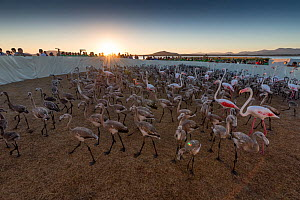 Greater flamingo (Phoenicopterus ruber) juveniles and a few adults kept temporarily in an enclosure for ringing, Fuente de Piedra lagoon, Malaga, Spain. August.  -  Francisco Marquez