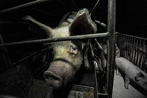 Domestic pig, sow in farrowing / gestation crate at night, unable to turn around. These crates confine the sow to stop her moving and prevent mortality of piglets. However studies have shown that mort... - Jo-Anne McArthur / We Animals