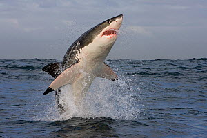 Great white shark (Carcharodon carcharias) breaching. South Africa  -  Klein & Hubert