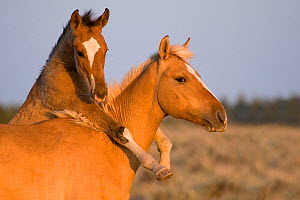 Dun foal jumping over a palomino yearling while playing. Nevada, USA. - Klein & Hubert