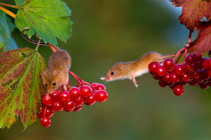Harvest mice (Viburnum opulus) on berries of guelder rose, France. - Klein & Hubert