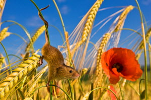 Harvest mouse (Micromys minutus) in wheat field with poppy (Papaver rhoeas) in summer - prehensile tail. France. June.  -  Klein & Hubert