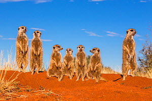 Meerkats (Suricata suricatta) standing on the burrow, warming up while facing the sun, Kalahari Desert, South Africa. - Klein & Hubert