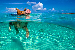 Piglet swimming in turquoise sea. Bahamas. - Klein & Hubert