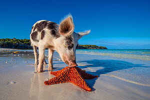 Piglet discovering a starfish on an island beach, Bahamas. - Klein & Hubert