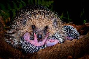 Hedgehog (Erinaceus europaeus) with her hoglets, age 6 days, in a hollow trunk, France. - Klein & Hubert