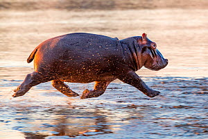 Young Hippo (Hippopotamus amphibius) trotting to the Luangwa River at sunrise, Luangwa National Park, Zambia.  -  Klein & Hubert