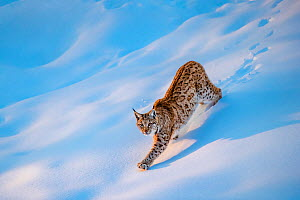 Eurasian lynx (Lynx lynx) juvenile walking in deep snow in winter at sunset, Germany. Captive.  -  Klein & Hubert