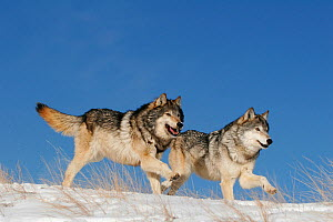 Grey wolf (Canis lupus) two running in the snow, USA. Controlled conditions.  -  Klein & Hubert