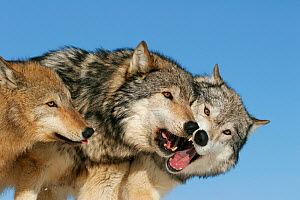 Grey wolves (Canis lupus) pair and juvenile greeting each other, USA. Controlled conditions  -  Klein & Hubert