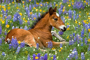 Wild mustangs, bay foal lying in wild flowers, Rocky Mountains, USA. June. - Klein & Hubert