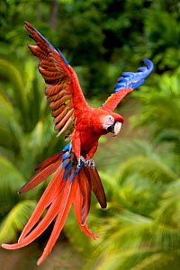 Scarlet macaw (Ara macao) in flight, Central America. - Klein & Hubert